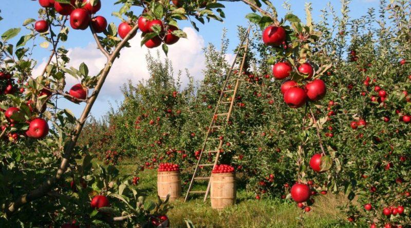 Tegoroczne zbiory owoców będą znacznie niższe